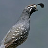 California Quail thumb