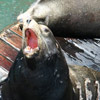 Sea Lion barking thumb