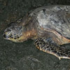 Sea Turtle ashore thumb